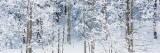 Aspen Trees Covered with Snow  Taos County  New Mexico  USA