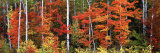 Maple and Birch Trees in a Forest  Maine  USA