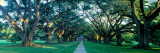 Louisiana  New Orleans  Oak Alley Plantation  Home Through Alley of Oak Trees  Sunset