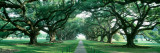 Louisiana  New Orleans  Brick Path Through Alley of Oak Trees