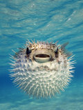 Close-up of a Puffer Fish  Bahamas