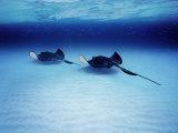 Southern Stingrays Grand Caymans