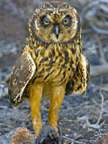 Close-up of a Short-Eared Owl with a Galapagos Petrel