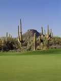 Saguaro Cacti in a Golf Course  Troon North Golf Club  Scottsdale  Maricopa County  Arizona  USA