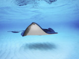 Close-up of a Southern Stingray  Grand Cayman  Cayman Islands