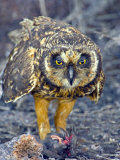 Close-up of a Short-Eared Owl with a Storm Petrel in its Claws