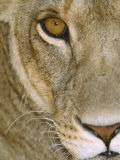 Lioness Close-Up Tanzania Africa