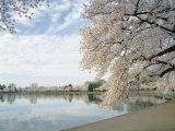 Cherry Blossom Trees around the Tidal Basin  Washington DC  USA