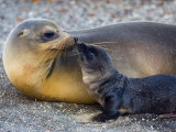 Galapagos Sea Lion with its Young One  Ecuador