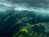 Marine Iguana Swimming Underwater  Ecuador