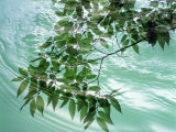 Green Leafy Boughs Trailing in Water Ripples