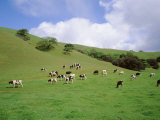 Cattle Grazing on a Field  Novato  Marin County  California  USA