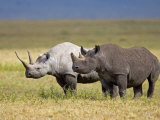 Side Profile of Two Black Rhinoceroses Standing in a Field  Ngorongoro Crater