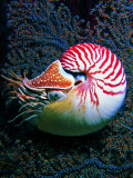 Nautilo (Nautilus Pompilius)