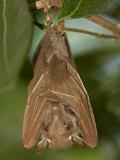 Close-up of a Bat Hanging from a Branch  Lake Manyara  Arusha Region  Tanzania