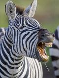 Close-up of a Zebra Calling  Ngorongoro Crater  Ngorongoro Conservation Area  Tanzania