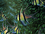 Cardinal Fishes of the Banggai