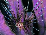 Pterois Volitans Fish
