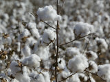 Close-up of Cotton Plants in a Field  Wellington  Texas  USA
