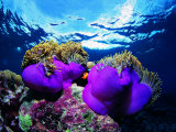 Sea Anemones (Heteractis Magnifica) and Clown Fish (Amphiprion Nigripes)