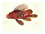 Color Lithographs with Fishes