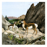Extinct Species of Pronghorn  Protoceras  Ancient South Dakota Black Hills