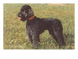 Black Standard Poodle on Grass
