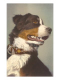 Bernese Dog with Collar