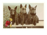 Three Scottie Dogs on Leashes