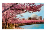 Tidal Basin  Jefferson Memorial  Cherry Blossoms  Washington  DC