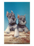Two Schnauzer Puppies