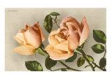 Safrano Roses