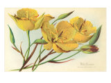 Yellow Mariposa Lily