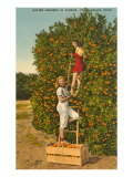 Ladies Picking Oranges  Florida