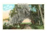 Royal Arch Oak  Florida