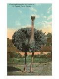 Ostrich  Florida