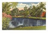 Peacock  Sarasota  Florida