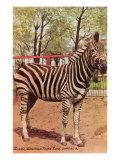 Zebra  Lincoln Park Zoo  Chicago  Illinois