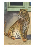 Leopard  Sarasota  Florida