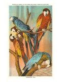 Macaws  Sarasota  Florida