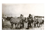 Circus Zebras