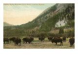 Buffalo  Banff  Alberta
