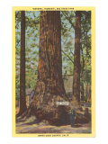General Fremont  Big Tree  Santa Cruz  California