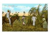 Sugar Cane Harvest  Cuba