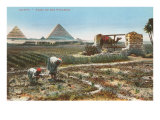 Farming by the Nile  Pyramids  Egypt