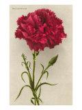 Red Carnation