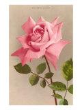 Pink Maman Cochet Rose