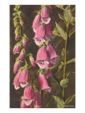 Foxglove  Digitalis