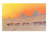 Pyramids  Camels  Egypt