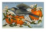 Mockingbird  Orange Blossoms  Florida